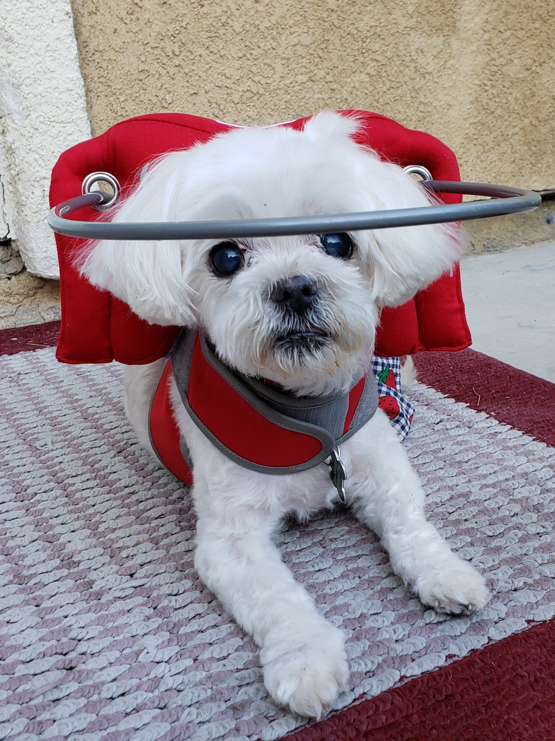 Small dog wears a red muffins halo while sitting on rug