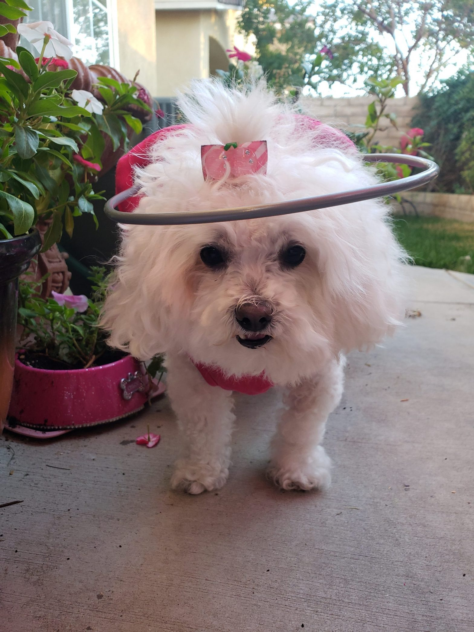 Blind dog with cute bow wears a muffins halo to see its environment