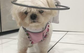 Small Blind Maltese wears a Muffins halo in kitchen