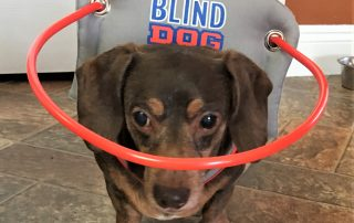 Blind Dachshund wears Muffins Halo while in house